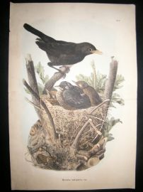 Bettoni & Oscar Dressler 1865 Folio Bird Print. Blackbird & Nest